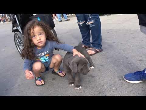 CUTEST PIT BULL PUPPIES BLUE EYES VENICE BEACH CALIF NOV 2017
