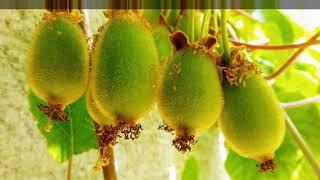 Как вырастить киви из семян в домашних условиях?