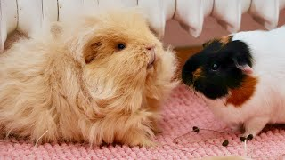 New Guinea Pig Introduction