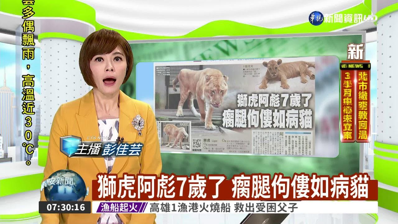 獅虎阿彪7歲了 瘸腿佝僂如病貓 - YouTube