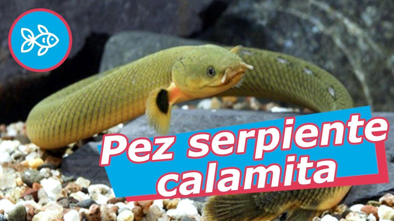 Pez CALAMITA · Serpiente de ACUARIO 🐍