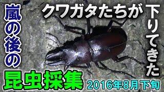 8月の中旬は昆虫採集に行けませんでした。申し訳ないです。 動画中のカ...