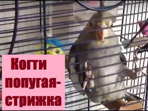 Вопрос: Как часто нужно стричь когти попугаю?