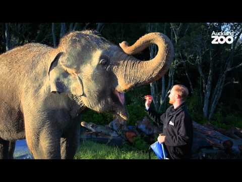 Thumbnail: Zoo Tales - Anjalee and Burma's elephant walk around the Zoo