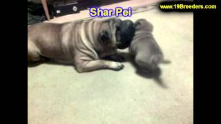 Shar Pei, Puppies, For, Sale, In, Washington Dc, Fort Totten, Mclean Gardens, Wesley Heights, Burlei
