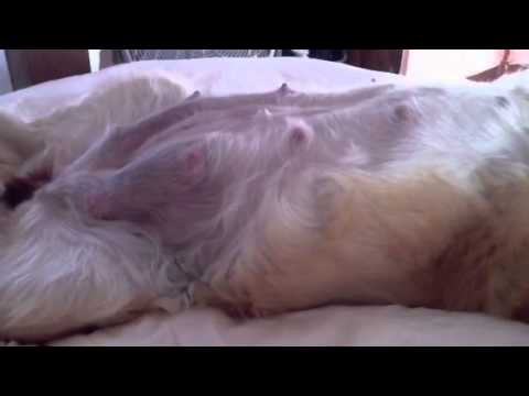 pregnant golden retriever   lily sleeping on bed with fan