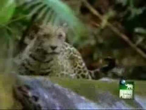 Jaguar kills Peccary and Caiman.