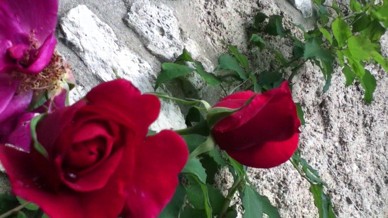 Connu Deutzia, Jasmin étoilé, roses Etoile de Hollande, Alfred Carrière  VT95