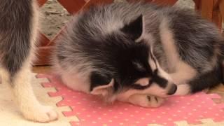 3日間限定のノースサファリ赤ちゃん展。inシベリアンハスキー犬の赤ちゃ...