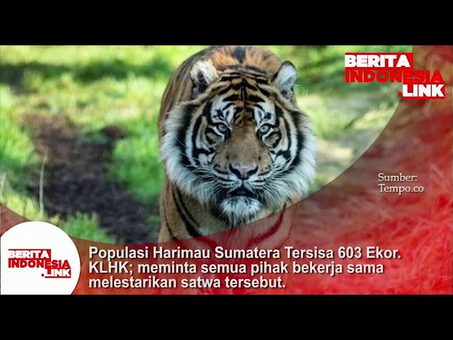 Populasi Harimau Sumatera  tersisa 603 ekor. KLHK; meminta semua pihak bekerjasama melestarikannya.