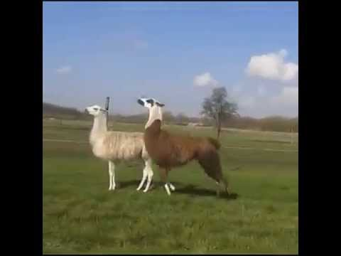 Lama - Party Up