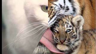 Тигры и кошки