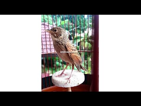 Samin, burung branjangan mental baja orbitan Om Dede Majalengka via blog Om Kicau