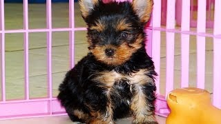 Yorkshire Terrier Puppies Playing 19breeders
