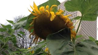 Container Gardening S6 - Week 14: The droopiest sunflower