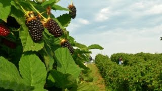 Harvesting Fresh Fruit Berries For A Local Farmer's Market