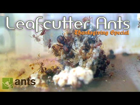 Thumbnail: OMG! Leafcutter Ants WILL BLOW YOUR MIND | Thanksgiving Special - Part 1