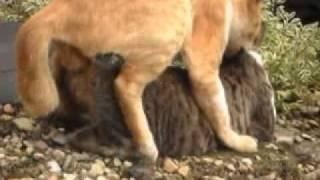 Download Video Kucing Homo.flv MP3 3GP MP4