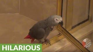Daredevil parrot slides down shower door like firefighter