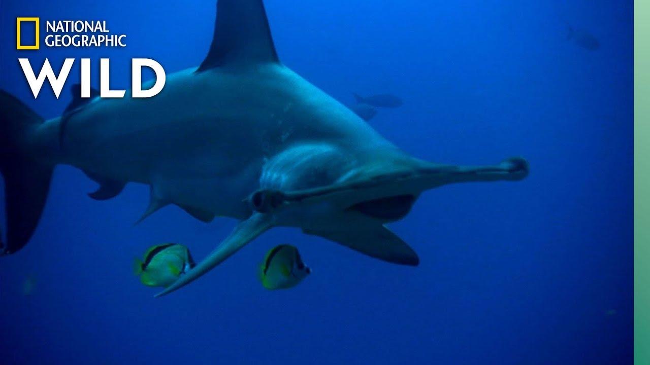 Hammerhead Shark's Unique Features | Nat Geo WILD