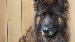 Long Haired German Shepherd Makeover | Beautiful Dog