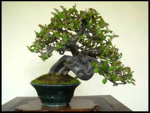 Shohin Bonsai Leer Hoe Jij Je Bonsai Boom Kunt Kweken Verzorgen En Snoeien Klik Hier Youtube