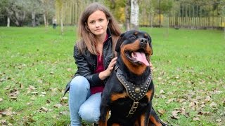 Rottweiler Wears Royal Nappa Padded Dog Studded Harness