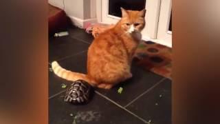 Ozzy Man Reviews: Tortoise vs Cat