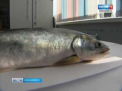 На севере Красноярского края обитает самая полезная рыба в мире