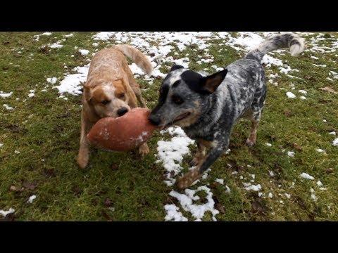 Frozen Football | Australian Cattle Dogs