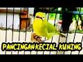 Suara Jos Kecial Kuning Gacor Cocok Untuk Pancingan Agar Bablas Gacor  Mp3 - Mp4 Download