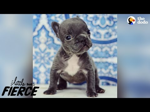 Teeny Tiny 'Imperfect' Puppy Is 100% Perfection | The Dodo Little But Fierce