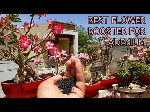 Best Fertilizer For Maximum Flowers In Adenium / Desert Rose || Fun Gardening