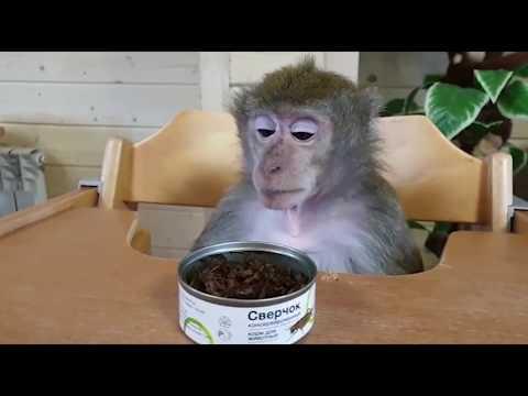 Вопрос: Домашняя обезьянка – это дикое животное или домашнее?