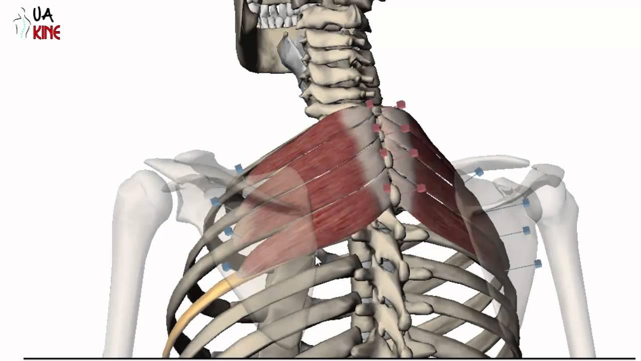 Anatomía Serrato Postero Superior (Caracteristicas) - YouTube