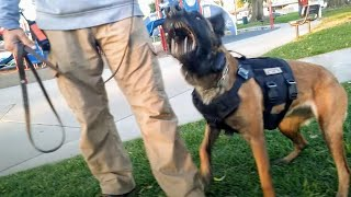 Belgian Malinois Ready To Tear Into Anyone Who Approaches At Dog Park