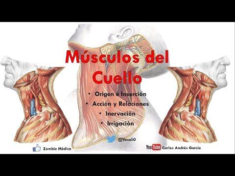 Anatomía - Músculos del Cuello (Inserción, Inervación, Irrigación y Acción)
