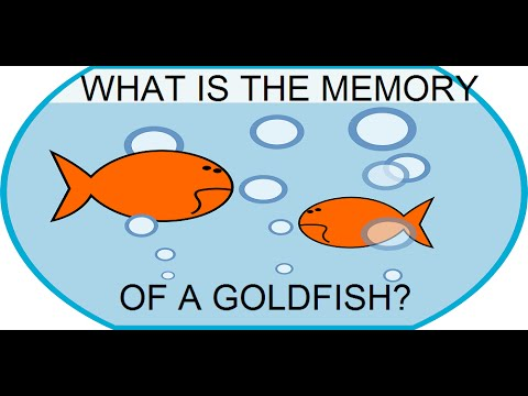 Do Goldfish Have A 3 Second Memory?