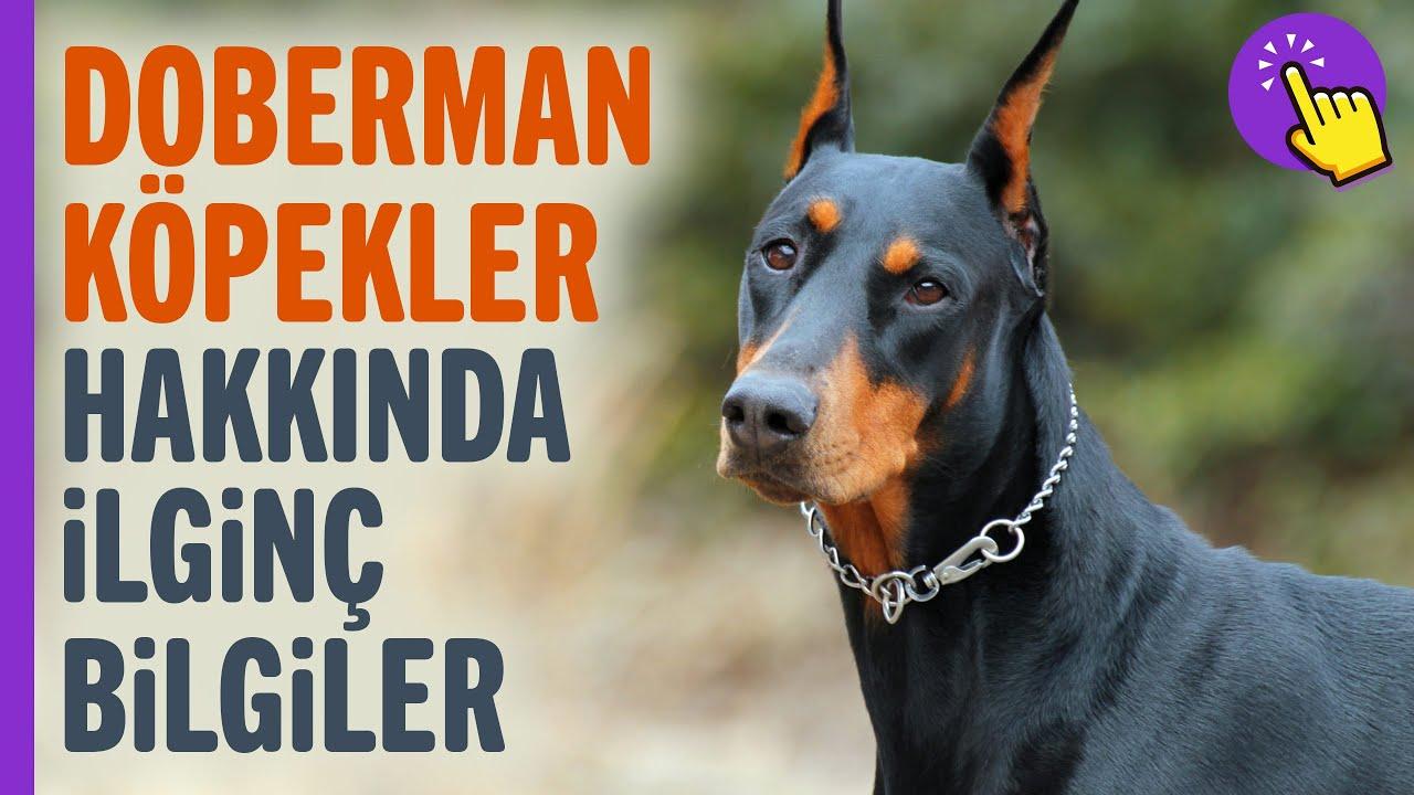 Doberman köpekler hakkında ilginç bilgiler | Hayvanlar Alemi | İlginç bilgiler | Aklında olsun