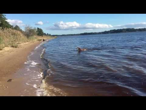 chesapeake bay retriever in water