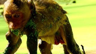 Ah! What happening- wrong why on adult monkey? Very dirty water, Why monkey not scare leech ?