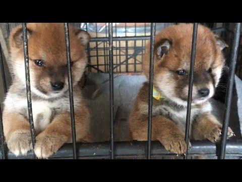 一匹の柴犬の子犬と出会った日 shiba inu puppy The day we met