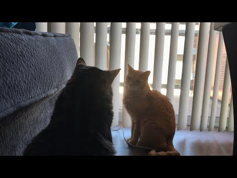Cat Drama - Real Housecats of North Hollywood
