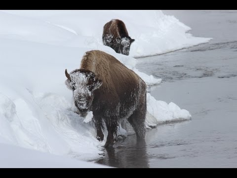 Yellowstone : Winter in Wonderland