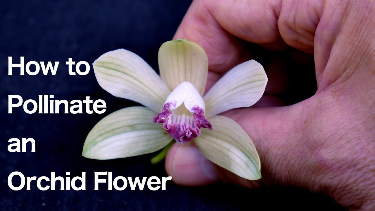 Orchid flower diagram diy wiring diagrams orchid flower structure and how to pollinate an orchid flower youtube rh youtube com parts of a flower diagram daisy flower parts diagram izmirmasajfo