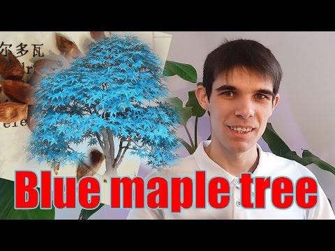 Seminte de bonsai cu frunze albastre / Bonsai blue maple tree seeds