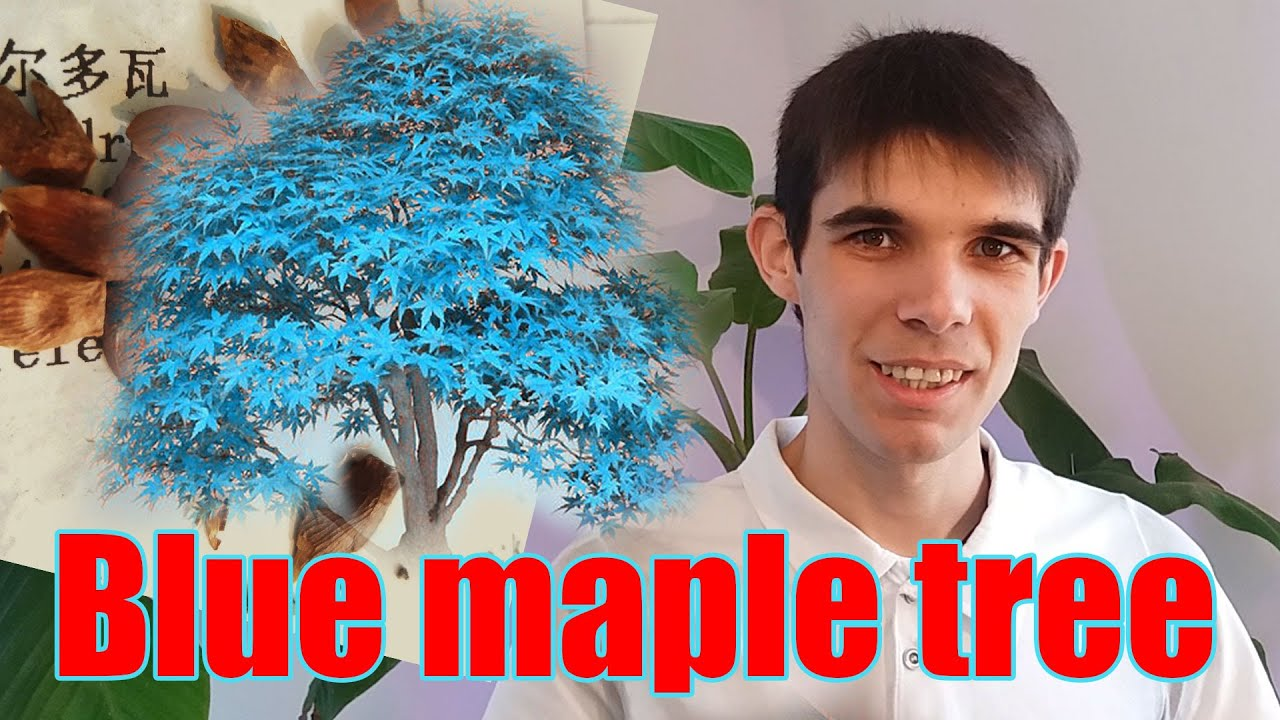 Seminte De Bonsai Cu Frunze Albastre Bonsai Blue Maple Tree Seeds Youtube