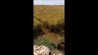 Louisiana Rice Harvest 2015