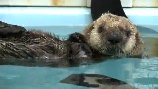 Sea Otter Rescued by Monterey Bay Aquarium Finds Home at Shedd Aquarium (no audio)