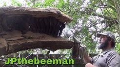 40 Year Old Bee Hive In Ancient Catalpa Tree!